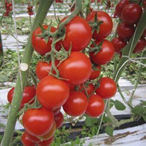 Sauce Cherry Tomato Bio